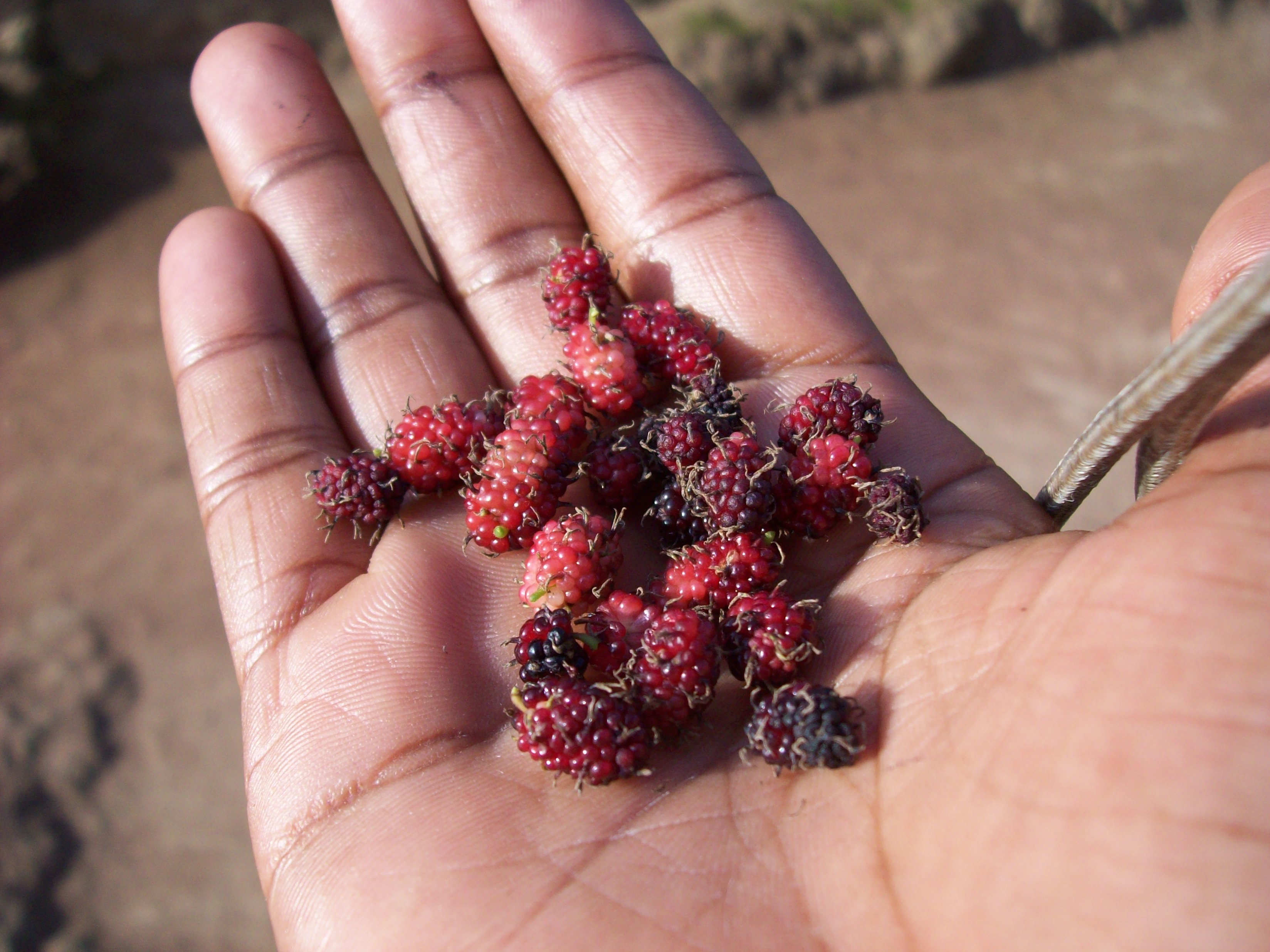 ozingiti or mulberries