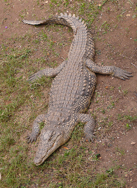 Nile Crocodile, Courtesy of Wikimedia Commons.