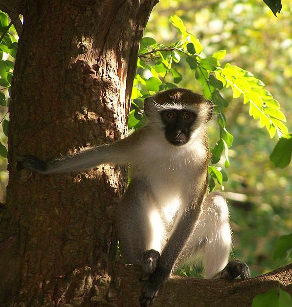 Vervet Monkey, Courtesy of Wikimedia Commons